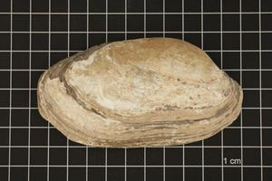 Primary view of object titled 'Lampsilis teres, Specimen #435'.