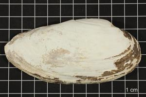 Primary view of object titled 'Lampsilis teres, Specimen #260'.