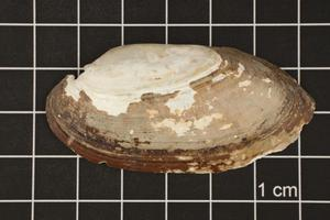 Primary view of object titled 'Lampsilis teres, Specimen #448'.