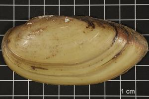 Primary view of object titled 'Lampsilis teres, Specimen #450'.
