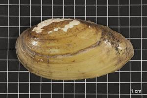 Primary view of object titled 'Lampsilis teres, Specimen #459'.