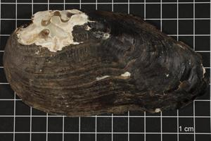 Primary view of object titled 'Tritogonia verrucosa, Specimen #915'.