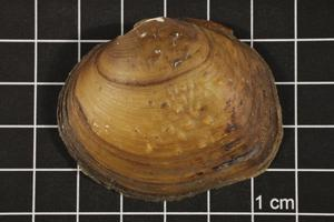 Primary view of object titled 'Quadrula mortoni, Specimen #959'.