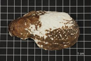 Primary view of object titled 'Tritogonia verrucosa, Specimen #901'.