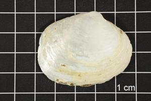Primary view of object titled 'Quadrula petrina, Specimen #1080'.