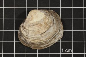 Primary view of object titled 'Quadrula mortoni, Specimen #1088'.