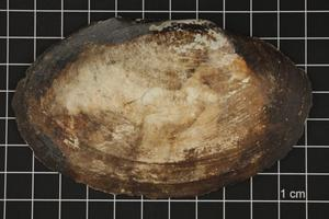Primary view of object titled 'Potamilus ohiensis, Specimen #630'.