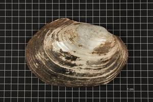 Primary view of object titled 'Potamilus ohiensis, Specimen #632'.