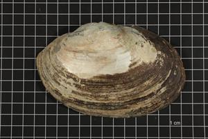 Primary view of object titled 'Potamilus ohiensis, Specimen #728'.