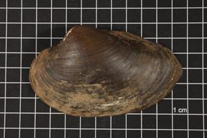 Primary view of object titled 'Pyganodon grandis, Specimen #748'.
