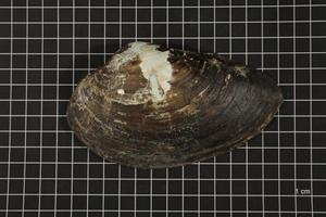 Primary view of object titled 'Pyganodon grandis, Specimen #779'.
