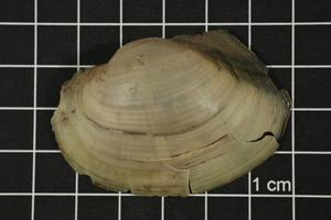 Primary view of object titled 'Pyganodon grandis, Specimen #882'.