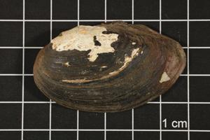 Primary view of object titled 'Toxolasma texasense, Specimen #536'.