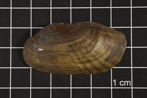 Primary view of object titled 'Ligumia subrostrata, Specimen #539'.