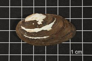 Primary view of object titled 'Toxolasma texasense, Specimen #1130'.