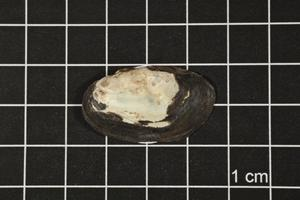 Primary view of object titled 'Toxolasma texasense, Specimen #1132'.