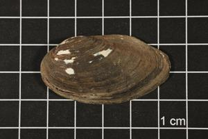 Primary view of object titled 'Toxolasma texasense, Specimen #1142'.