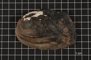 Primary view of object titled 'Plectomerus dombeyanus, Specimen #550'.
