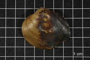 Primary view of object titled 'Obliquaria reflexa, Specimen #543'.