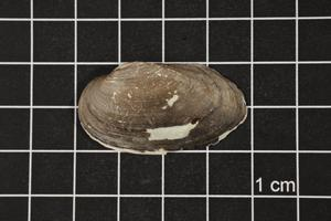 Primary view of object titled 'Toxolasma texasense, Specimen #1151'.