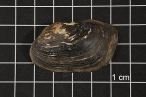 Primary view of object titled 'Toxolasma texasense, Specimen #1152'.