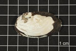 Primary view of object titled 'Toxolasma texasense, Specimen #1155'.