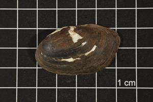 Primary view of object titled 'Toxolasma texasense, Specimen #1163'.