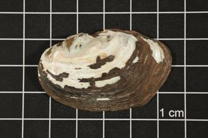 Primary view of object titled 'Toxolasma texasense, Specimen #1167'.