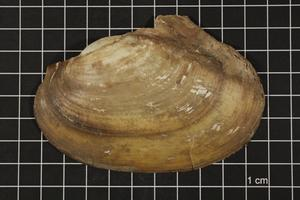 Primary view of object titled 'Leptodea fragilis, Specimen #494'.