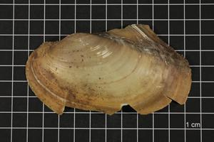 Primary view of object titled 'Leptodea fragilis, Specimen #500'.
