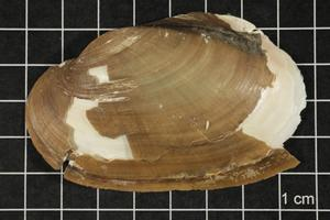 Primary view of object titled 'Leptodea fragilis, Specimen #505'.