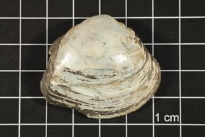 Primary view of object titled 'Fusconaia sp., Specimen #254'.