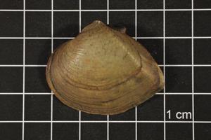 Primary view of Truncilla truncata, Specimen #1226