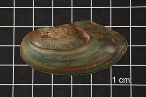 Utterbackia imbecillis, Specimen #1341