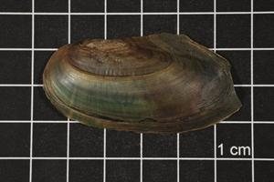Primary view of object titled 'Utterbackia imbecillis, Specimen #1345'.