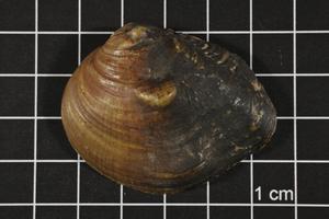 Obliquaria reflexa, Specimen #546