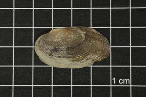 Primary view of object titled 'Toxolasma texasense, Specimen #1177'.