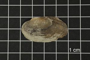 Toxolasma texasense, Specimen #1177