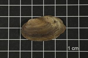 Primary view of object titled 'Toxolasma texasense, Specimen #1179'.