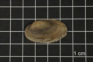 Primary view of object titled 'Toxolasma texasense, Specimen #1186'.