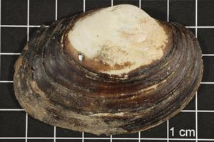 Primary view of object titled 'Cyrtonaias tampicoensis, Specimen #184'.