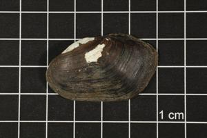 Primary view of object titled 'Toxolasma texasense, Specimen #1193'.
