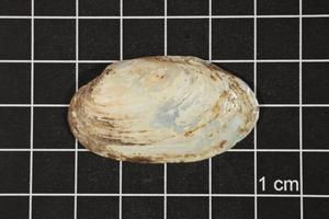 Primary view of object titled 'Toxolasma texasense, Specimen #1195'.
