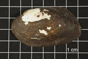 Primary view of object titled 'Uniomerus tetralasmus, Specimen #1262'.