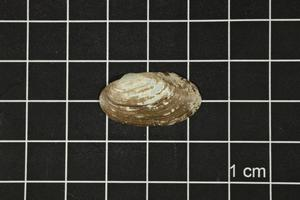 Primary view of object titled 'Toxolasma texasense, Specimen #1198'.