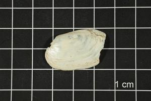 Primary view of object titled 'Toxolasma texasense, Specimen #1199'.