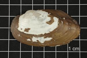 Primary view of object titled 'Uniomerus tetralasmus, Specimen #1266'.