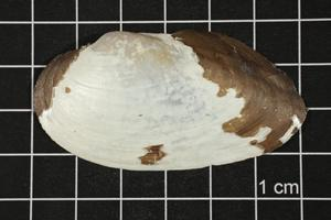 Primary view of object titled 'Uniomerus tetralasmus, Specimen #1267'.