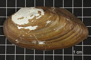 Primary view of object titled 'Uniomerus tetralasmus, Specimen #1270'.