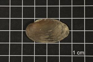 Primary view of object titled 'Toxolasma texasense, Specimen #1121'.